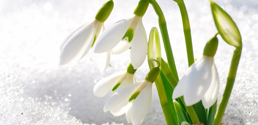 Snowdrop This Dainty Plant First Blossoms In Late Winter Snowdrops Prefer To Be Hidden Under Taller Shrubs Or Even A Rock Garden Due Their Shy